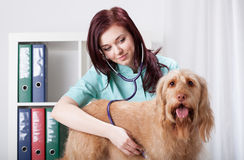 Dog examined by female vet Stock Photo