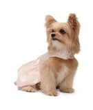 Dog with Exciting Eyes. Cute mixed breed dog in pink dress looking left with exciting eyes isolated in white background with clipping path Royalty Free Stock Photography