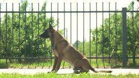 Dog is executing commands. Shepherd malinois dog is executing commands in front of a fence stock footage