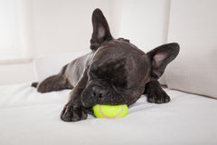 Dog exhausted after play Royalty Free Stock Photos