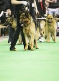 Dog exhibition Stock Photos