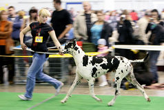 Dog exhibition Royalty Free Stock Images