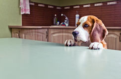 Dog in expectation of meal Royalty Free Stock Image