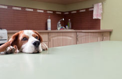Dog in expectation of meal Royalty Free Stock Photo