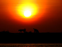 Dog Expedition. Wild dogs enjoy their evening at the beach Royalty Free Stock Photo