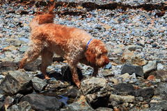 Dog Exploring Rocky Coast Royalty Free Stock Image