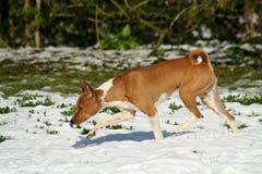 Dog exploring snow Stock Image