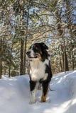 Dog exploring a winter wonderland stock photos
