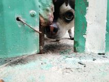 The dog expression of eye ferocious. At home nIn the door.Guard dogn Royalty Free Stock Image