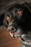 dog eye Στοκ φωτογραφία με δικαίωμα ελεύθερης χρήσης