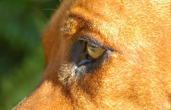 Dog eye close Royalty Free Stock Photos