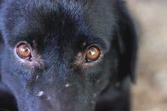 Dog eye. Close up black dog eye Stock Photos