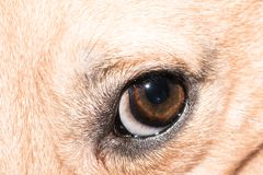 Dog eye close-up - pet eye isolated. Cute brown dog eye close-up - pet eye isolated - puppy portrait royalty free stock images