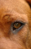 Dog eye closeup. A closeup of a beautiful brown dog eye in a red wheaten face, breed Rhodesian Ridgeback from South Africa Stock Images