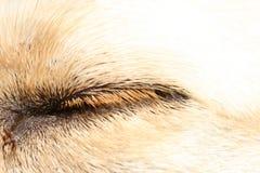 Dog eye closeup. A macro closeup of a dog eye lid and fur Royalty Free Stock Photos