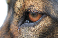 Dog eye detail Stock Photography