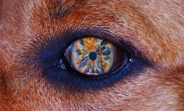 Dog eye in macro. Iris detail on brown fur, dog eye in macro Royalty Free Stock Photography