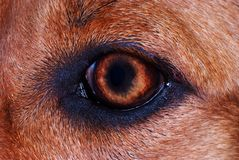 Dog eye. Iris detail on brown fur dog eye Royalty Free Stock Photo