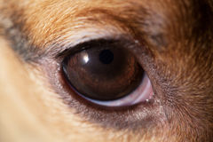 Dog eye macro Stock Photography