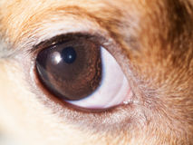 Dog eye macro Stock Photos