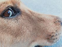 Dog eye royalty free stock photos