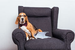 Dog in eyeglasses and bow tie sitting on grey armchair with newspaper Stock Photo