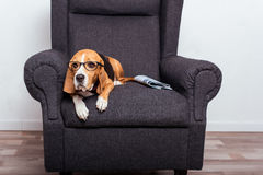 Dog in eyeglasses lying on grey armchair with newspaper Royalty Free Stock Images