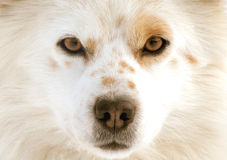 Dog eyes Royalty Free Stock Images