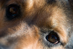 Dog Eyes. Cute close up of a brown dog's eyes Royalty Free Stock Image