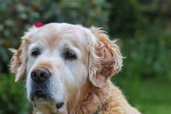 Dog eyes stock photography