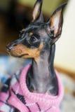 Dog eyes blacks with reflection purple Royalty Free Stock Photography