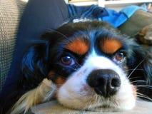 Dog eyes. Cavalier King Charles spaniel on sofa Royalty Free Stock Image