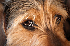 Dog Eyes Closeup. Closeup on the eyes of a young mixed dog about one year old.  Shallow depth of field Royalty Free Stock Photos
