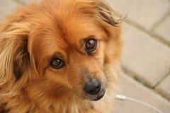 Dog. Eyes fur nose brown eyes Stock Image