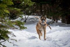 Dog för den tyska herden spring med pinnen i mun snöar ner covere Royaltyfria Bilder