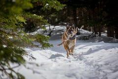 Dog för den tyska herden spring med pinnen i mun snöar ner covere Royaltyfri Bild