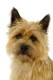 Dog Face Royalty Free Stock Image