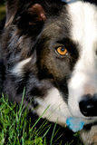 Dog face. Boarder collie dog in grass, close up on face royalty free stock photography