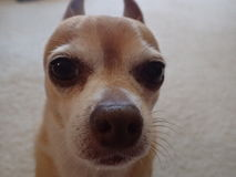 Dog Face. Face of dog, Chihuahua with cute ears on the carpet Stock Photo