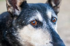 Dog face close-up. Close-up of a dog face. Eyes open and raised years. Focus on the eyes Royalty Free Stock Image