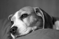Dog Face closeup. My dog in relaxing moment at home Royalty Free Stock Images