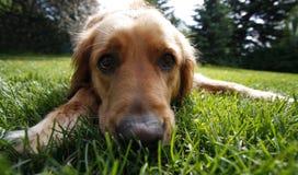 Dog face closeup Stock Photography