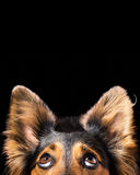 Dog face looking up Royalty Free Stock Photo