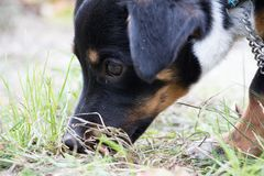 Dog face in profile. Closeup profile of a mixed breed dog with its nose into a clump of grass royalty free stock image
