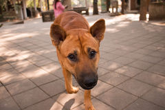 dog face Royalty Free Stock Photo