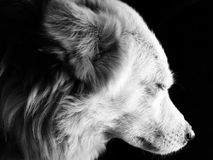 Dog. Face of dog seen from side in black and white. Eyes are closed Royalty Free Stock Image