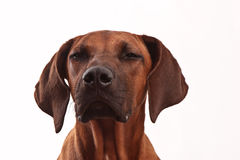 Dog face, suspicious Royalty Free Stock Images