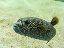 Dog Faced Puffer Fish Stock Photo