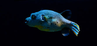 Dog-faced puffer fish Stock Image