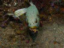 Dog faced puffer 01 Royalty Free Stock Image